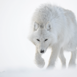 Une lettre pour le Loup (par Frédéric Wolff)