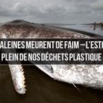 Les baleines meurent de faim – l'estomac plein de nos déchets plastique (par Philip Hoare)