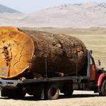 La disparition des géants des forêts (par Bill Laurance)