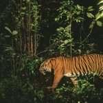 Le dernier endroit sur Terre où tigres, éléphants, orangs-outans et rhinocéros vivent ensemble est en train d'être détruit (par Ian Johnston)