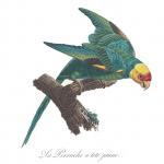 La civilisation et l'écocide: l'histoire tragique du perroquet de l'Amérique du Nord (par Nicolas Casaux)