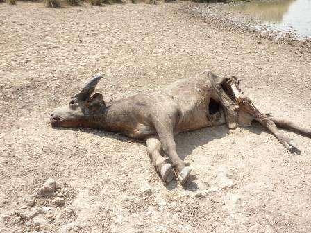 buffle tué par balle mare bali 10 février- Copie
