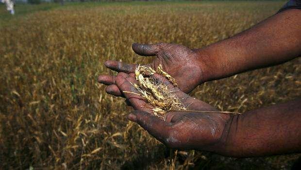 Un agriculteur montre son blé endommagé par les pluies non-saisonnières (24 mars 2015) dans l'état du Nord de l'Inde Uttar Pradesh